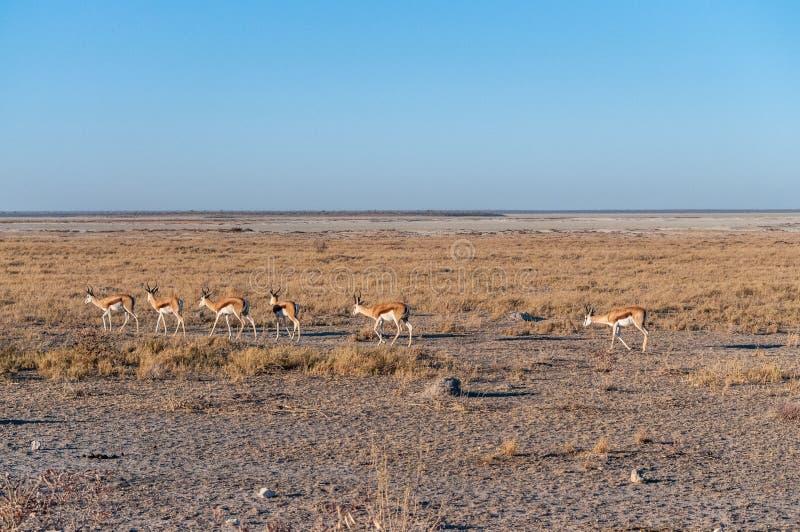 Impalas in Etosha National Park. A group of Impalas - Aepyceros melampus- walking along a path in the plains of Etosha National Park, Namibia royalty free stock image