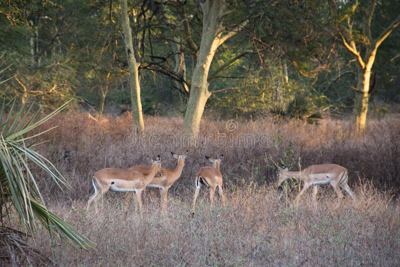 Impalas in a forest of fever trees in Gorongosa National Park stock photos