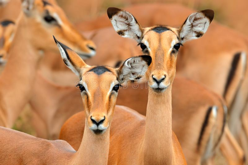 Impalas in the grass with evening sun, Ihidden portrait in vegetation. Animal in the wild nature . Sunset in Africa wildlife. stock photo