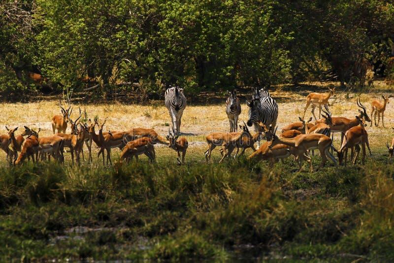 Impalas hermosos y la cebra de Burchell en los llanos africanos imágenes de archivo libres de regalías
