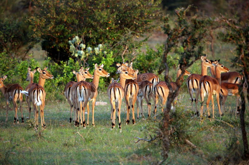 Impalas Looking in the Distance, Serengeti. A family of impalas looks off in the distance as the sun begins to set on the Serengeti, Tanzania royalty free stock photo