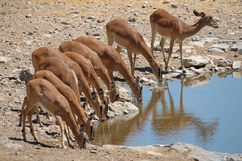 Impalas (melampus d'Aepyceros) images libres de droits