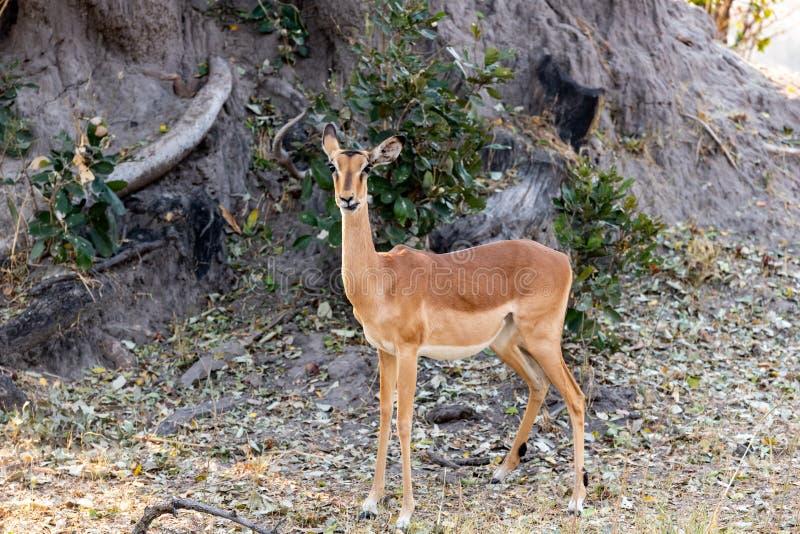 Impalas na łasowaniu między żółtą trawą obrazy royalty free