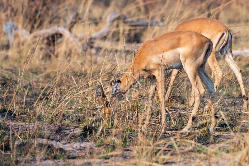 Impalas na łasowaniu między żółtą trawą obraz royalty free