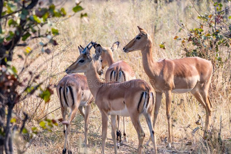 Impalas na łasowaniu między żółtą trawą zdjęcie royalty free