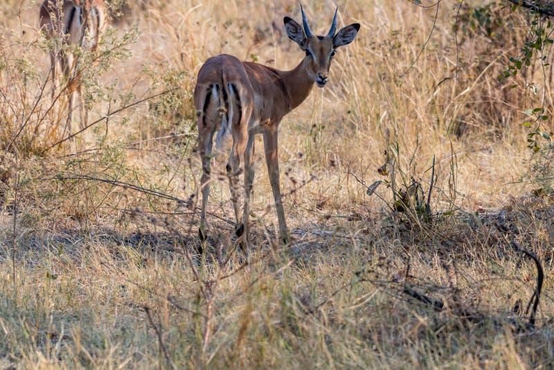 Impalas na łasowaniu między żółtą trawą fotografia stock