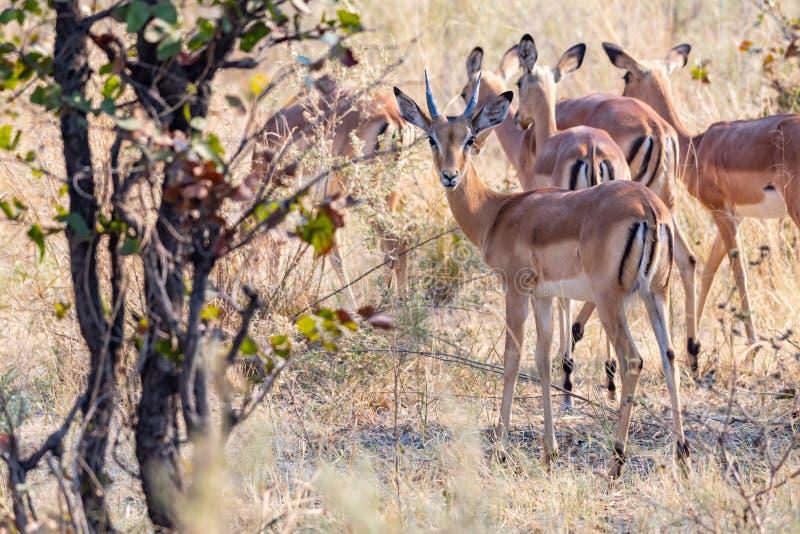 Impalas na łasowaniu między żółtą trawą zdjęcia stock