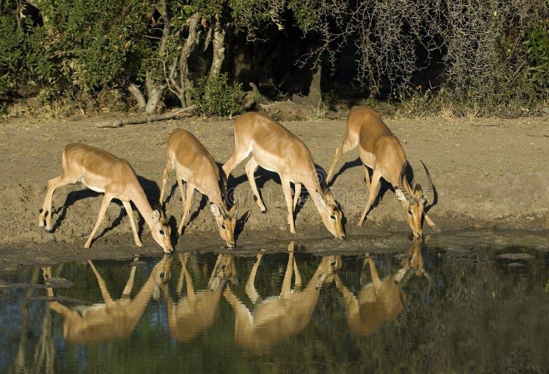 impalas pić wodę fotografia stock