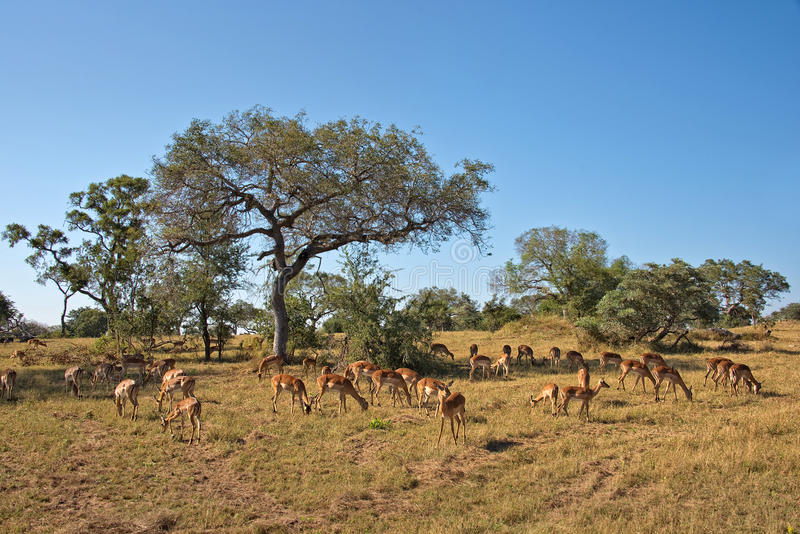 Impalas, Południowa Afryka zdjęcia stock