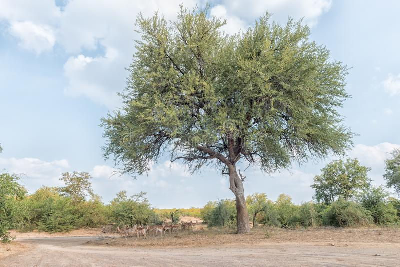Impalas que ocultan para el sol caliente de la tarde debajo de un árbol grande imagenes de archivo