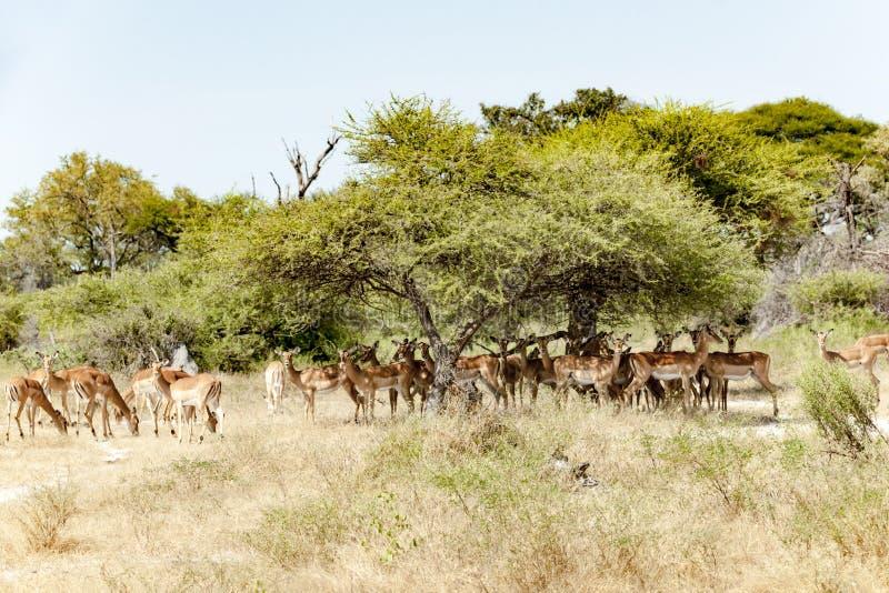 Impalas in shadow of acacia trees. Impalas standing in shade of bush, Okavano Delta, Botswana stock photos