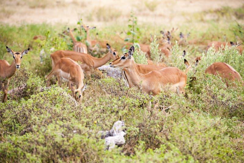 Impalas w Afrykańskim krzaku fotografia stock