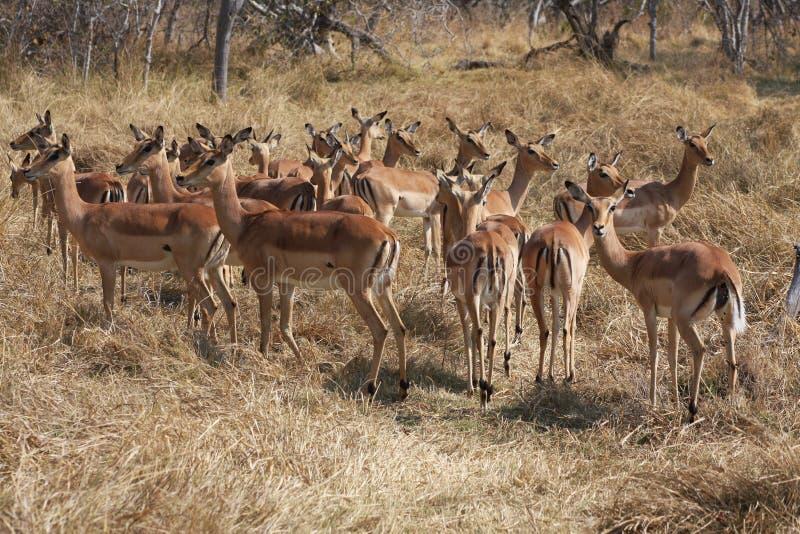 Impalas w krzaku. zdjęcia stock