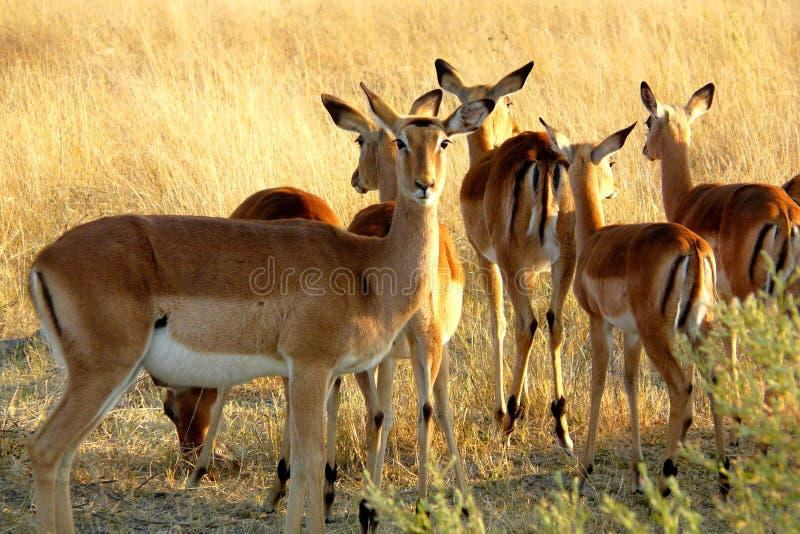Impalas w Botswana obrazy stock