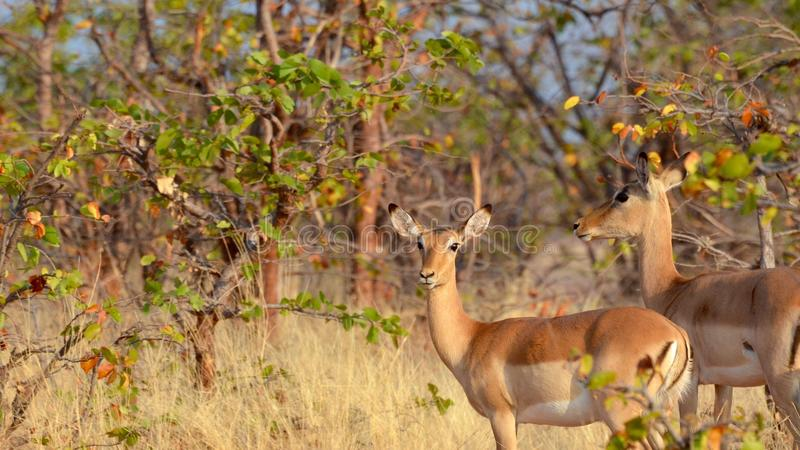 Impalas w sawannie zdjęcia stock