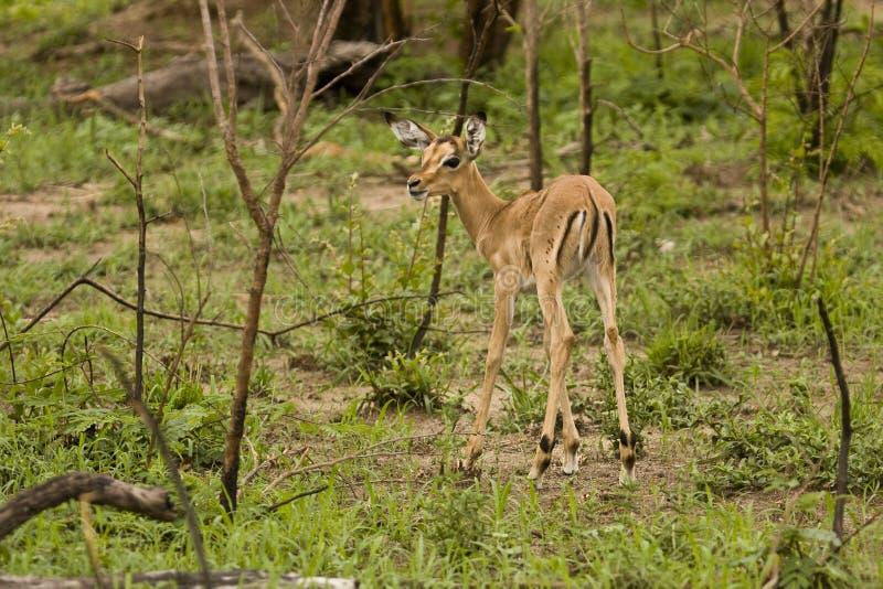 Impalas w sawannie, kruger bushveld, Kruger park narodowy, POŁUDNIOWA AFRYKA fotografia stock