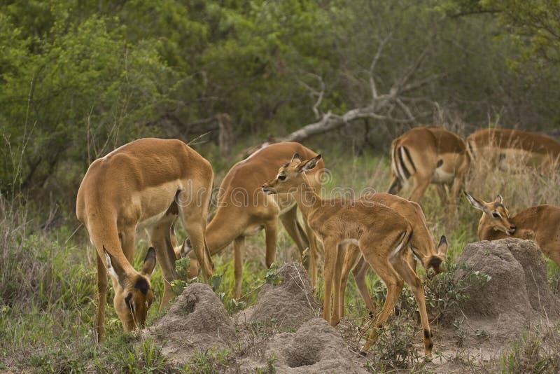 Impalas w sawannie, kruger bushveld, Kruger park narodowy, POŁUDNIOWA AFRYKA zdjęcia stock