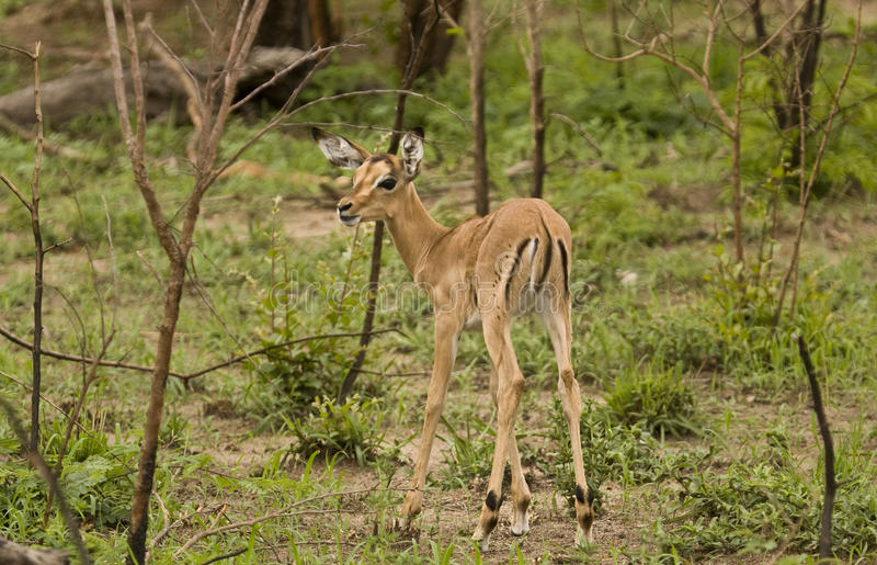 Impalas w sawannie, kruger bushveld, Kruger park narodowy, POŁUDNIOWA AFRYKA zdjęcie royalty free