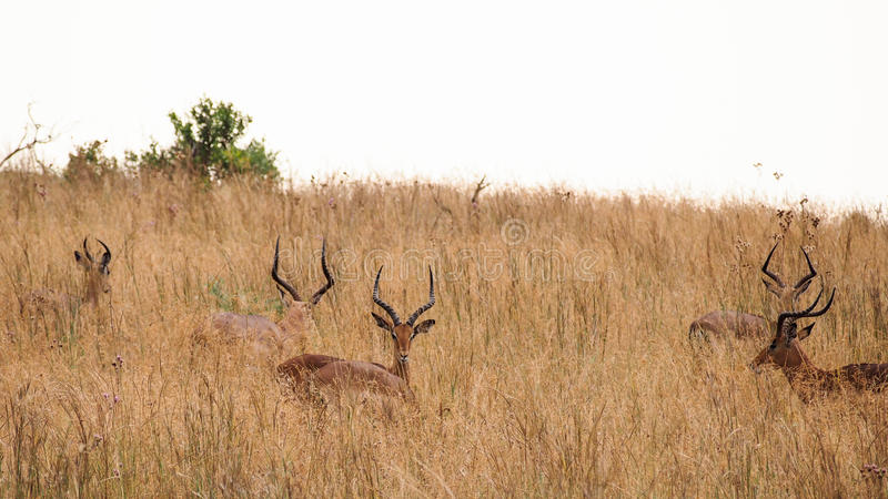 Impalas w sawannowej trawie zdjęcie royalty free