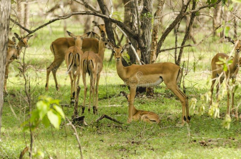 Impalas w Selous zdjęcie royalty free