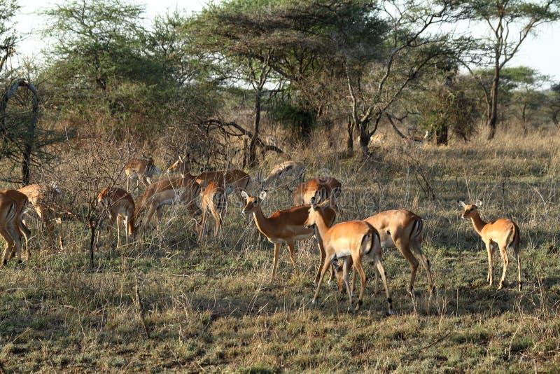 Impalas w Serengeti obrazy stock