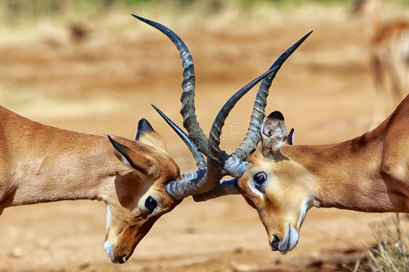 Impalas walczy przy samburu obrazy stock