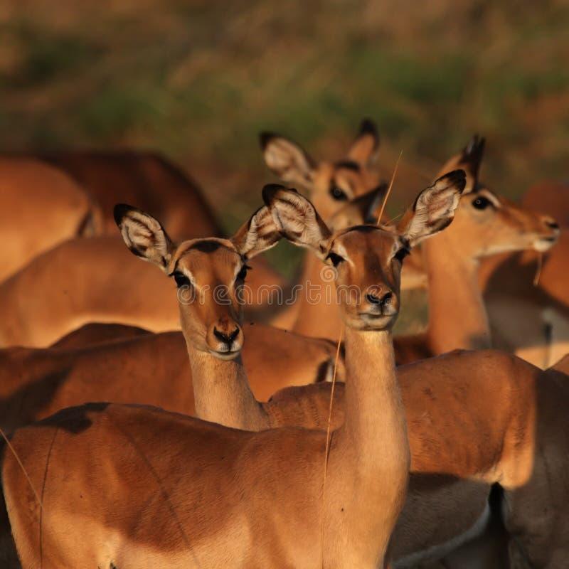 impalas zaświecają ranek obraz royalty free