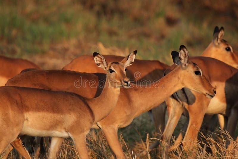 impalas zaświecają ranek fotografia royalty free