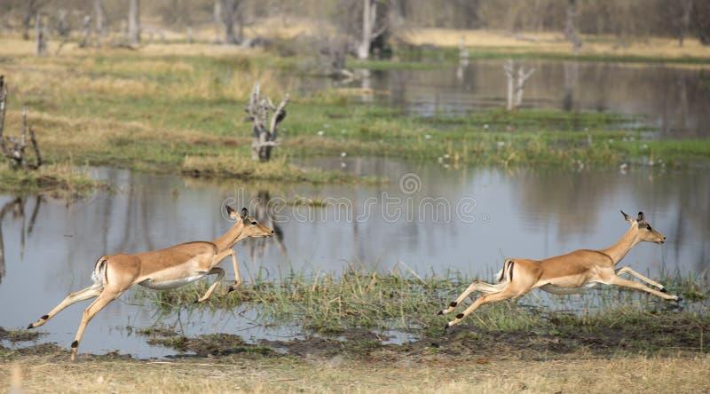 Impalaspring royaltyfria bilder
