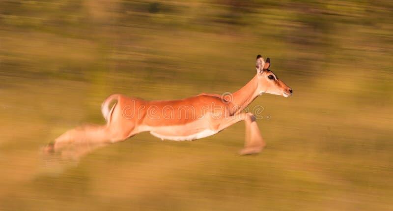 Impalaspring royaltyfria foton