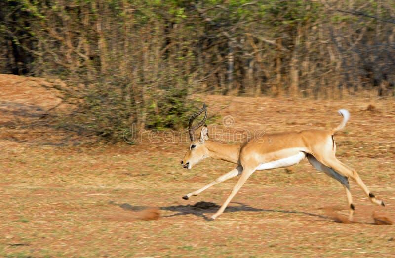 Impalaspring på den torra savannahen i den Matusadona nationalparken arkivbilder