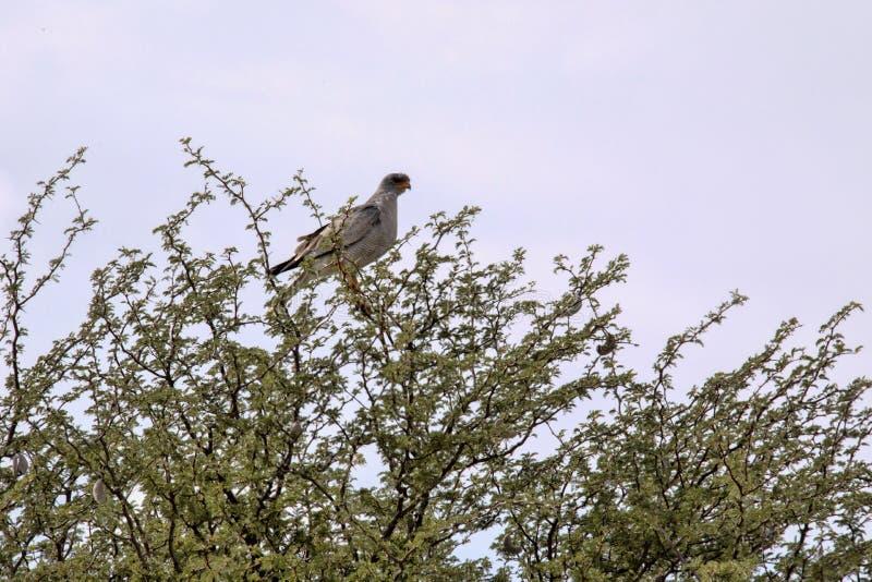Impallidisca salmodiando l'astore, canorus di Melierax, in un alto albero, Kalahari, Sudafrica fotografie stock
