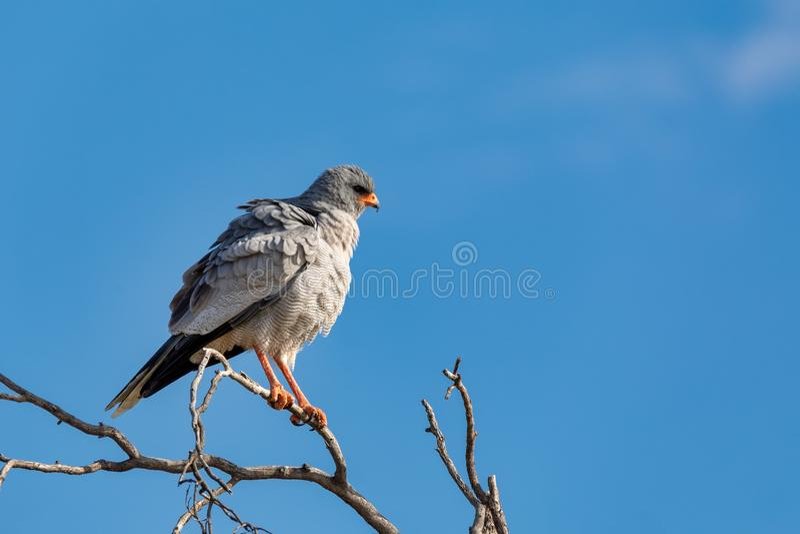 Impallidisca salmodiando l'uccello dell'astore in Etosha, fauna selvatica della Namibia Africa immagine stock