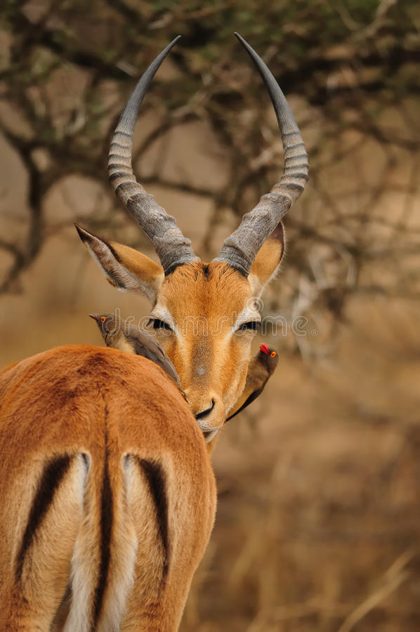 Download Impapa Antelope And Oxpecker Stock Photo - Image of gamedrive, african: 23641988