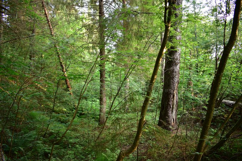 Impassable mixed forest at dawn, here and pine, spruce branches bowed low over the ground. Rowan bushes stock photography