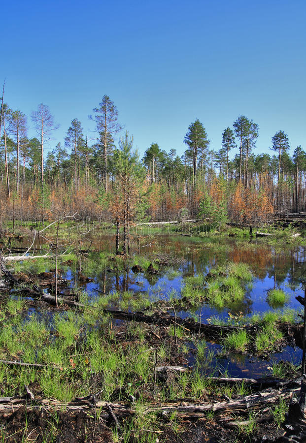 Impassable swamp in the Siberian taiga royalty free stock photos