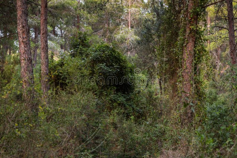Impassable  thickets in the Hanita forest in northern Israel, in the rays of the setting sun. Impassable thickets in the Hanita forest in northern Israel, in the royalty free stock image