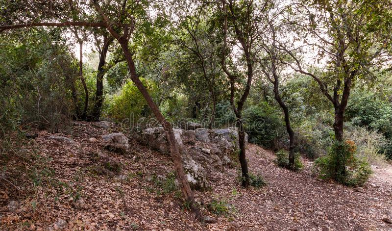 Impassable  thickets in the Hanita forest in northern Israel, in the rays of the setting sun. Impassable thickets in the Hanita forest in northern Israel, in the stock photos