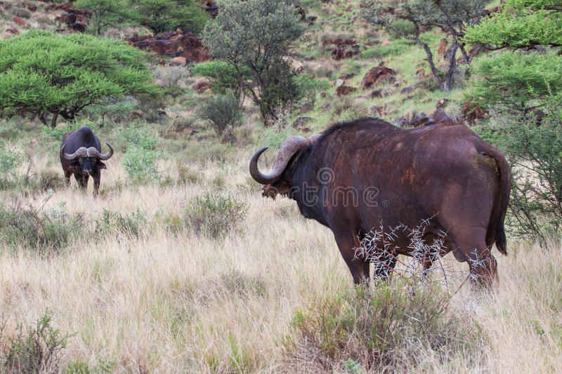Impasse de Buffalo photo stock