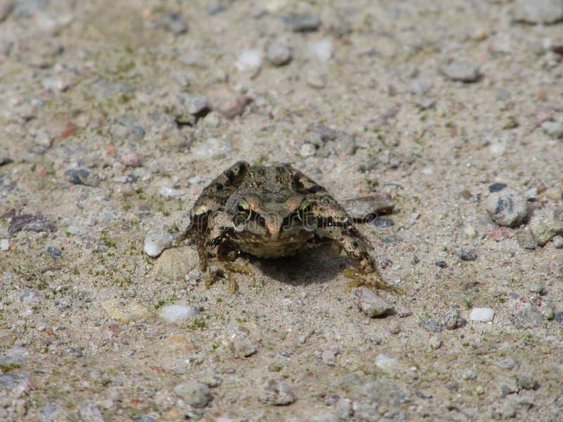 Impasse de grenouille photographie stock libre de droits