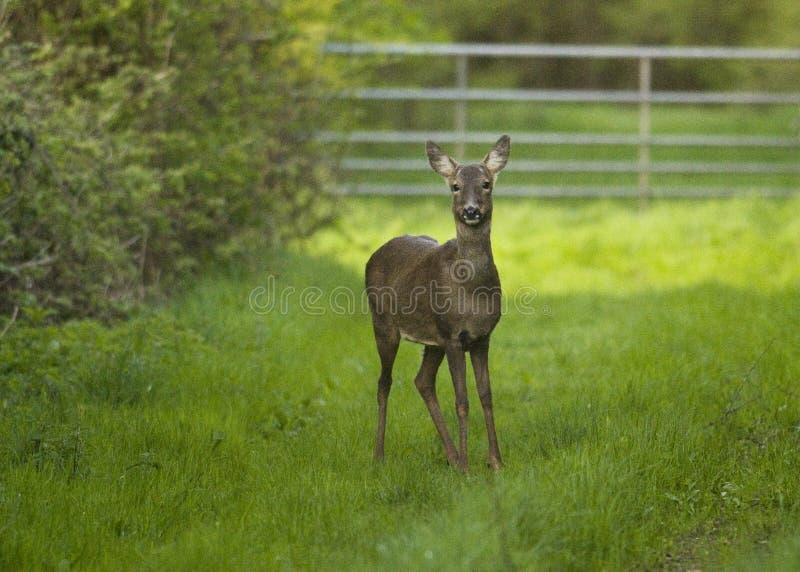 Impasse de Roe Deer image stock