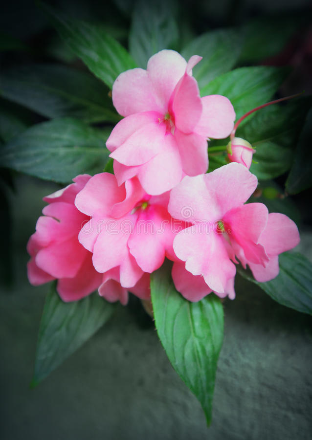 Free Impatiens Stock Photography - 34048602