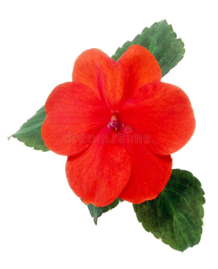 Free Impatiens Royalty Free Stock Images - 6533299