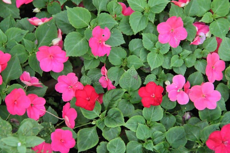 Impatiens Balsamina rote und purpurrote Blumen stockfotos