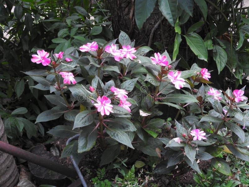Impatiens de florescência do rosa de Beautilful e os brancos imagens de stock royalty free
