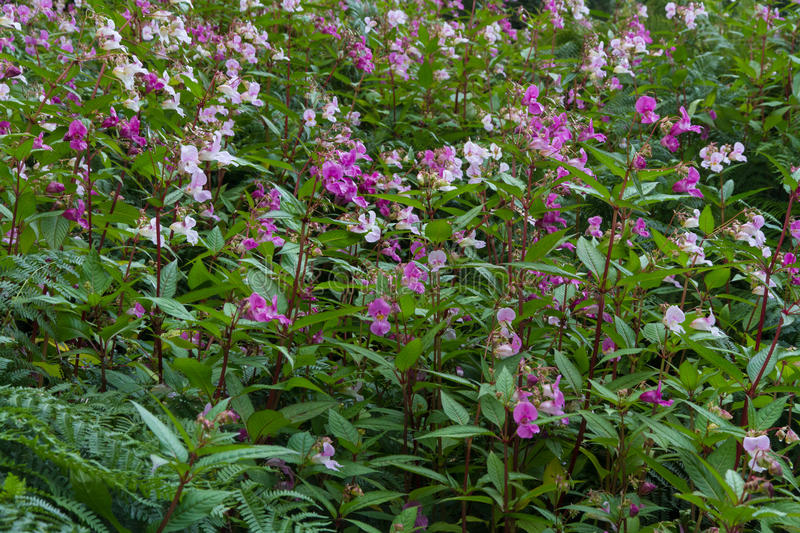 Impatiens glandulifera, Himalayan balsam, flowering. Himalayan balsam or Impatiens glandulifera, a member of the busy lizzie. A major weed problem in the United royalty free stock image