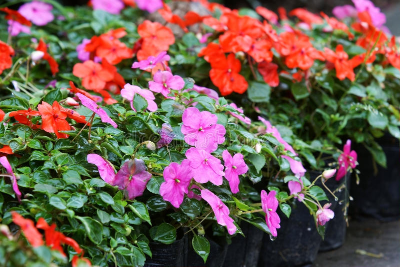 Download Impatiens hawkeri flower stock image. Image of horticulture - 16541343