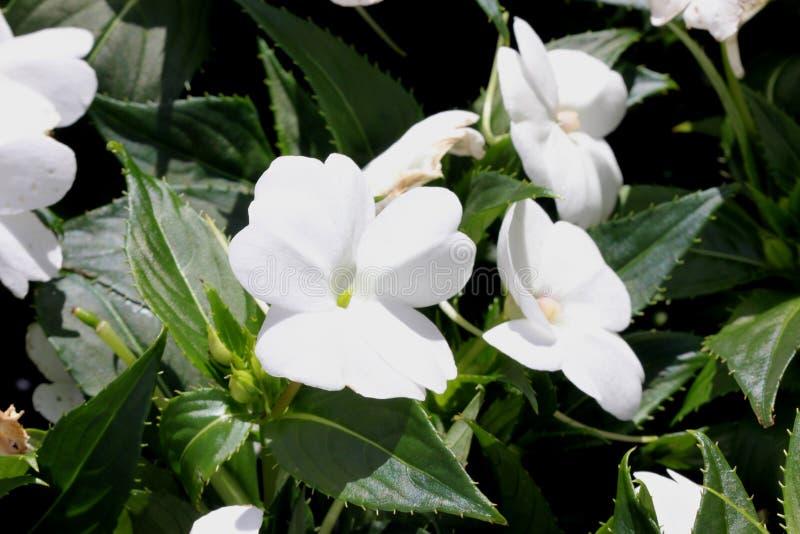 Impatiens x hybrida & x27; Sunpatiens Compacte White& x27; royalty-vrije stock foto's