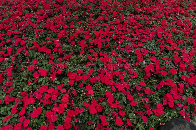 Impatiens Street flower bed stock photo
