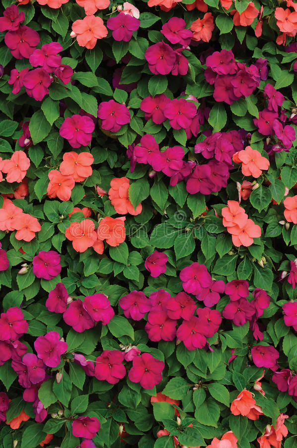 Free Impatiens Walleriana Sultanii Busy Lizzie Flowers, Large Detailed Colorful Vertical Background Closeup Pattern, Magenta, Purple Royalty Free Stock Photos - 76028598